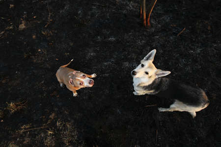 From above small golden Staffordshire Terrier with shepherd dog standing on ground and looking at camera