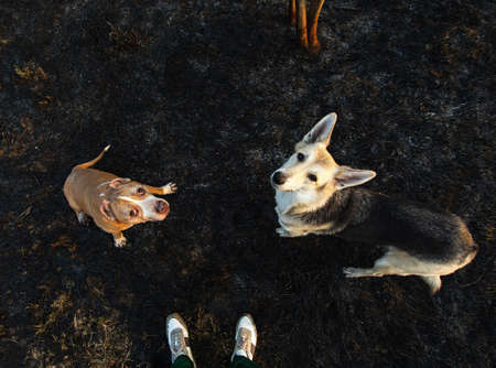 From above of crop legs in sneakers and small golden Staffordshire Terrier with shepherd dog standing on ground and looking at camera Zdjęcie Seryjne