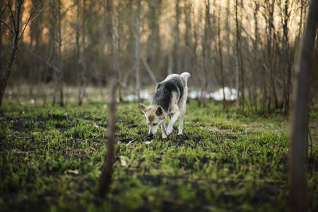 Side view of black and beige shepherd dog smelling green grass in calm spring forest on sunny morning