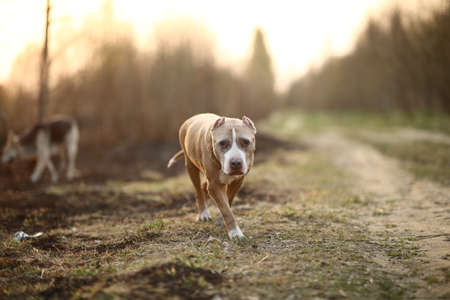 Golden Staffordshire Terrier dog walking on path of empty countryside road and looking at camera on blurred background