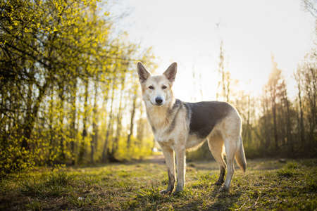 Side view of curious shepherd dog standing on meadow in sunny woods and looking at camera