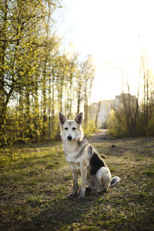 Side view of curious shepherd dog sitting on meadow in sunny woods and looking at camera