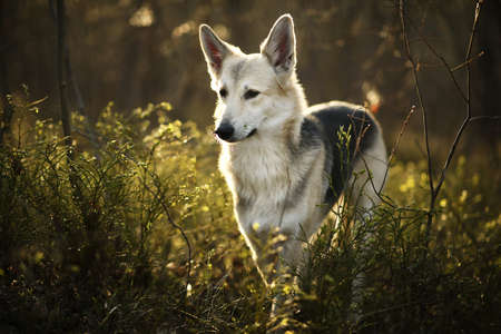Side view of curious shepherd dog standing on meadow in sunny woods and looking away Stock fotó