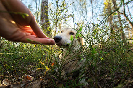 Friendly shepherd dog lying on ground amid green grass while sniffing crop hand in nature Stock fotó