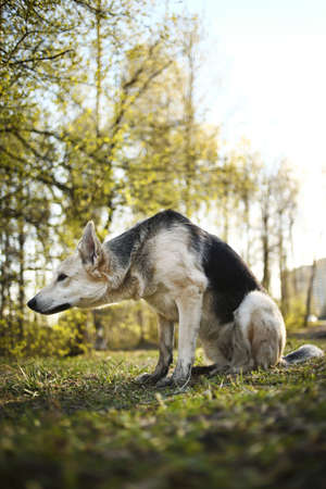 Side view of curious shepherd dog sitting on meadow in sunny woods and looking away