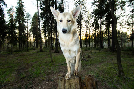 Side view of elegant shepherd dog posing on stump and looking at camera on summer forest meadow at sunset
