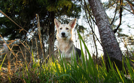 From below of adult sad shepherd dog sitting under tree on forest meadow with green grass on summer day
