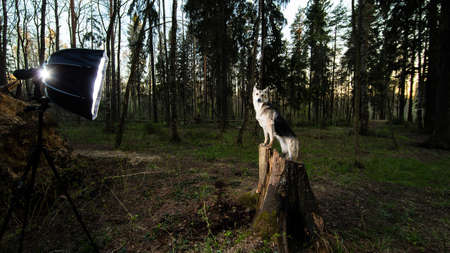 Side view of elegant shepherd dog posing on stump during photo session on summer forest meadow at sunset time with spotlight Stock fotó