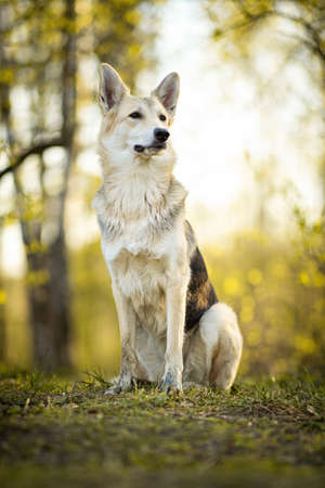 From bellow view at a curious shepherd dog sitting on meadow in sunny woods and looking away Stock fotó