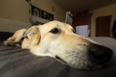 Closeup of neb of funny dog with beige wool relaxing on bed and looking away at home Imagens