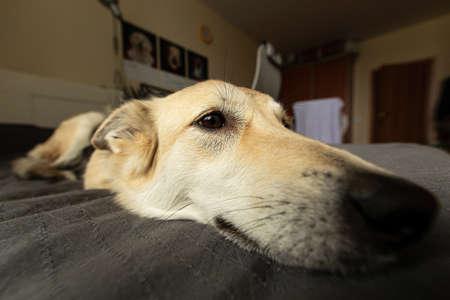 Gros plan du neb de chien drôle avec de la laine beige se relaxant sur le lit et regardant loin à la maison Banque d'images