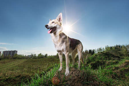 From below wary brown and black dappled Shepherd dog with mouth open looking away while standing on green grass on lawn against sun rays and blurred city outskirts under clear blue sky Stock fotó