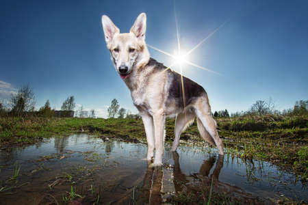 From below wary brown and black dappled Shepherd dog with mouth open looking at camera while standing in puddle on lawn against sun rays and blurred city outskirts under clear blue sky Stock fotó