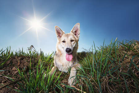 From below wary brown and black dappled Shepherd dog with mouth open looking at camera while lying on green grass on lawn against sun rays and blurred city outskirts under clear blue sky