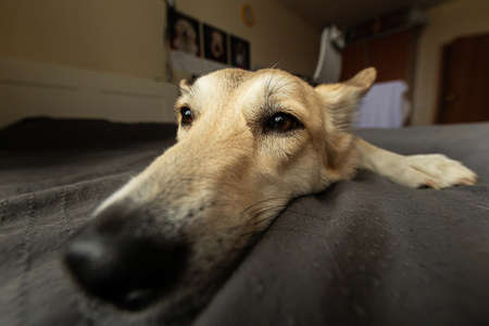Closeup of neb of funny dog with beige wool relaxing on bed and looking at camera at home Stock fotó