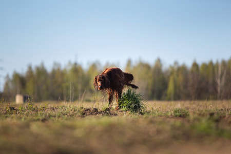 Adult Irish Red Setter dog marking territory and pissing on green grass tuft during hunting or training on spring field