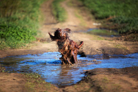Funny dirty red Irish Setter playing and shaking in muddy puddle at countryside road on spring day