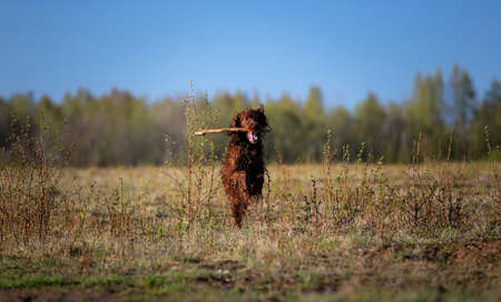 Active Irish Setter dog fetching wooden stick while running on field on sunny spring day with blue sky