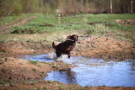 Wet dirty Irish Setter dog running fast and jumping on muddy puddle with water splashes on green field on spring day