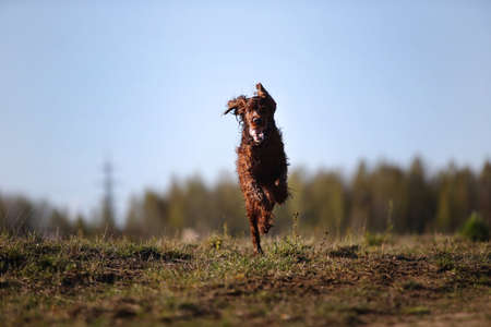 Active Irish Red Setter dog running fast on spring field while hunting and searching for bird