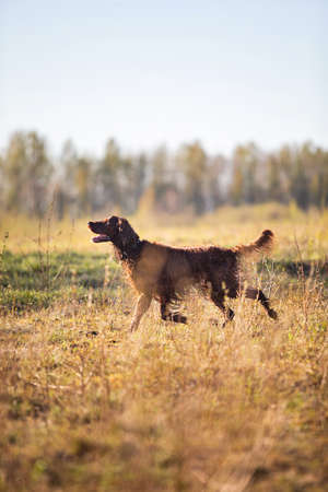 Side view of Irish Red Setter dog running on wet field and pointing bird during hunting on sunny spring day