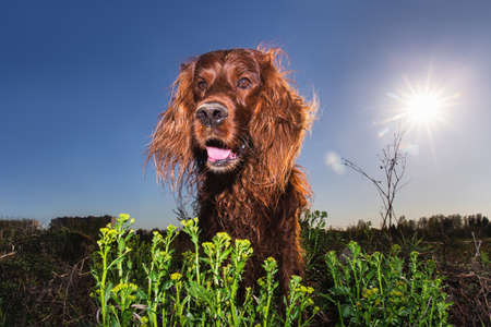 Low angle Excited Irish Setter dog with mouth open lying on ground and looking at camera with interest on lawn against blue sky and sun Standard-Bild