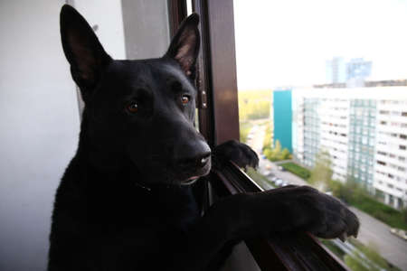 Thoughtful calm adult Black German Shepherd dog looking at camera with interest while standing like human on hind legs leaning on window frame on balcony of modern high rise building against blurred street Archivio Fotografico