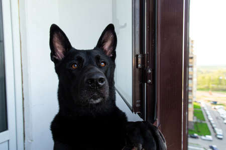 Thoughtful calm adult Black German Shepherd dog looking at camera with interest while standing like human on hind legs leaning on window frame on balcony of modern high rise building against blurred street Banco de Imagens