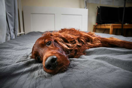 From below of golden Irish setter dog having relax on bed and looking at camera at home