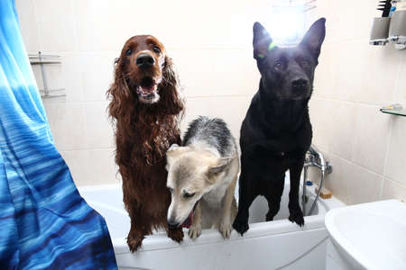 Curious adult black and brown Shepherd and red Irish Setter dogs with mouths open looking away while standing in bathtub and waiting for hygiene procedures after walk at home Banco de Imagens