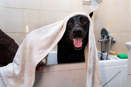 Obedient adult black and brown Shepherd dogs with mouths open and sticking out tongues hiding under towel while waiting finish of hygiene procedure in bathtub after walk Banco de Imagens