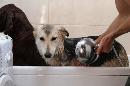 Crop caring man watering calm obedient black and gray shepherd dog with shower while washing after walk in bathroom at home Banco de Imagens