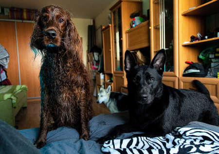 Calm adult black and brown Shepherd and red Irish Setter dogs looking at camera with curiosity while resting on sofa after shower at home