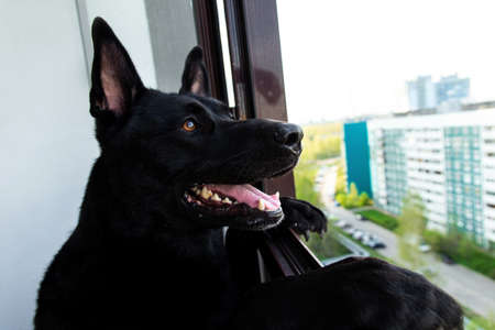 Thoughtful calm adult Black German Shepherd dog looking away with interest while standing like human on hind legs leaning on window frame on balcony of modern high rise building against blurred street Banco de Imagens