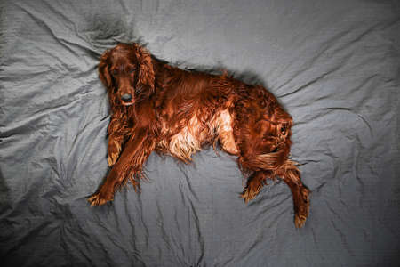 From above of golden Irish setter dog having relax on bed and looking at camera at home