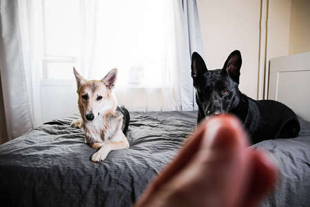 Big black dog and multicolored shepherd dog resting on bed and looking at camera anticipating taste of food offered by owner at home Banco de Imagens