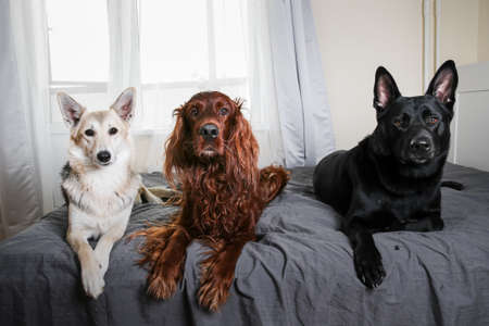 Different purebred dogs lying in row on cozy bed at home watching over bedroom and looking at camera at home