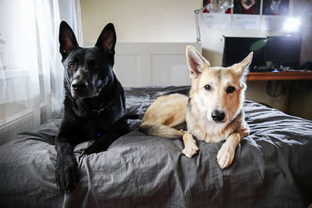 Big black dog and multicolored shepherd dog resting on bed and looking at camera at home Banco de Imagens