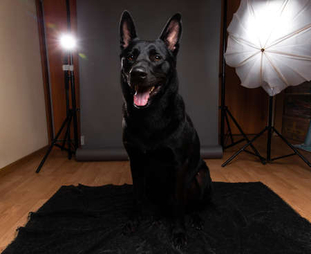 Friendly big black dog sitting on floor and looking at camera while having photo session at home