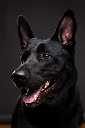 Neb of composed black smooth coated dog with big eras looking aside on grey background Banco de Imagens