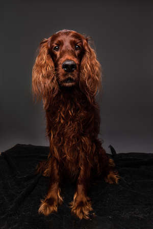 Curios golden irish setter dog sitting calmly and looking at camera on photo session at home