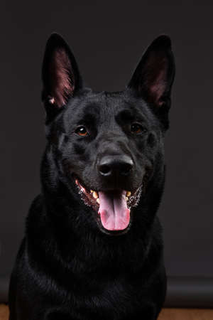 Neb of composed black smooth coated dog with big eras looking at camera on grey background