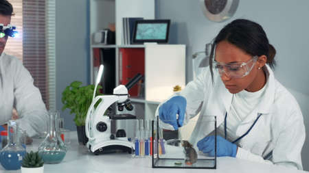 Experiment with lab mouse: mixed race female scientist using pipette to drop liquid to the container. Her colleague looking at organic material in magnifying glasses.
