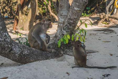 Funny Monkey Drinking beer On Beach under a tree. A monkey took a beer from our group and started drinking it on the beach. Cat Ba, Vietnam - March 5, 2020.