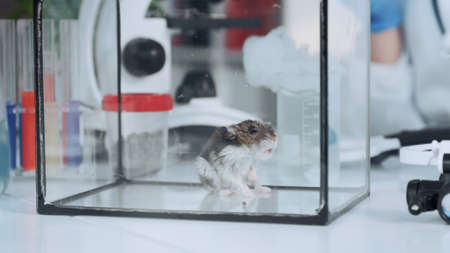 Lab hamster in glass container on working table in chemistry laboratory. Close-up shot Stock Photo