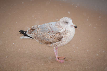A lonely seagull on a winter beach  photo