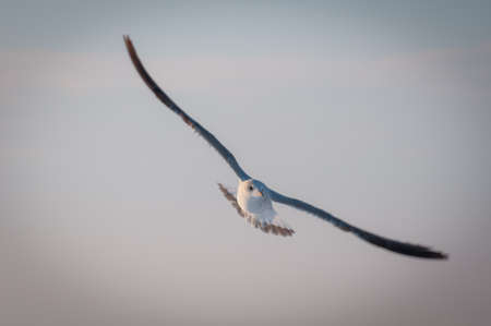 widely: A seagull with its wings widely open