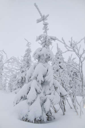 frostily: A coniferous tree covered with snow - view from a top of a mountain