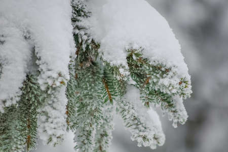 frostily: A branch covered with snow