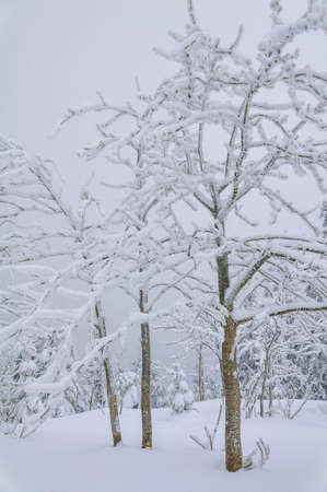 frostily: Trees on a peak of a mountain